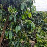 Chính chủ cần bán 6000m đất trồng cafe